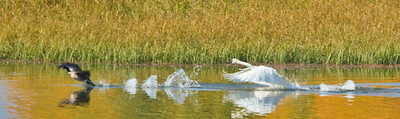 Trumpeter Swan Protecting His Territory