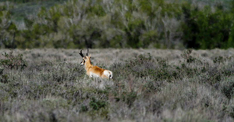 Pronghorn Antelope on Antelope Flats