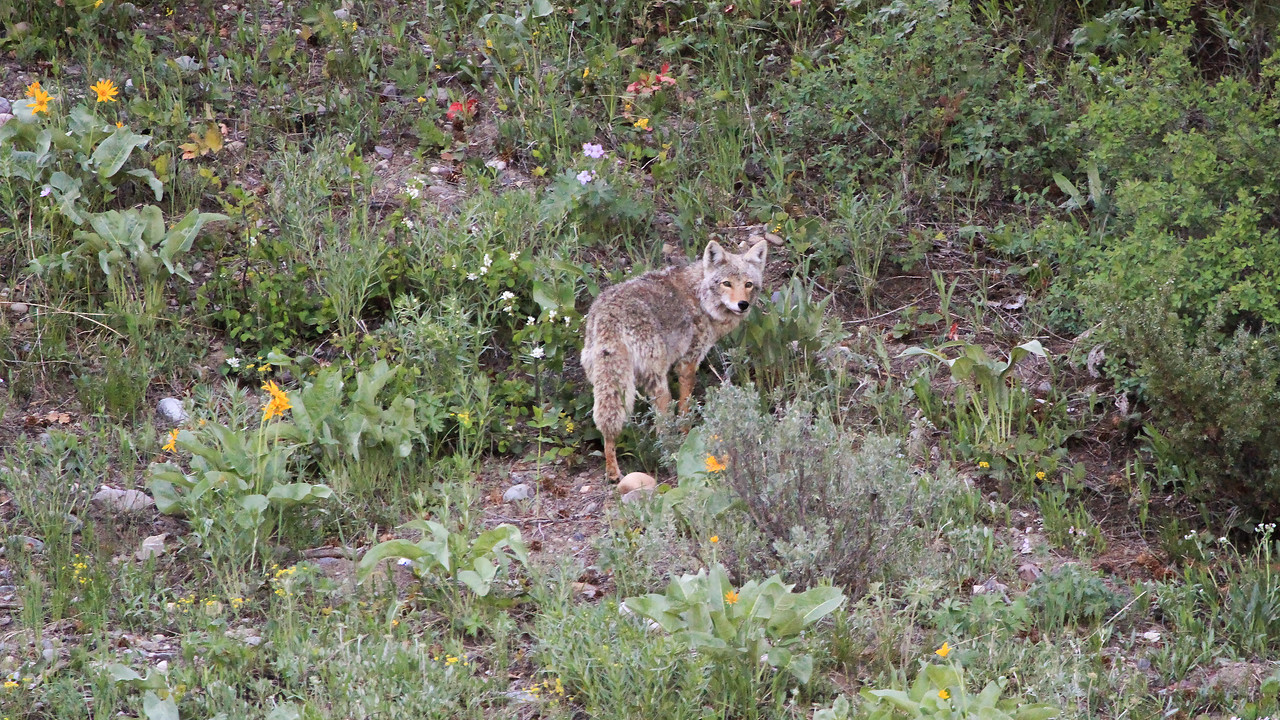 Coyote near Pilgrim Creek