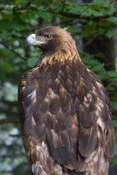 GFM's Golden Eagle