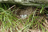 This nest was at the Attic Window just below the peak at Grandfather Mountain in North Carolina.  Ten of us set out for the Attic Window peak that morning but only four of us made it all the way.  The hike/climb is quite difficult for those of us with sub-optimal fitness.<br /> The weather wasn't good for taking large scenic shots, but we found something to shoot anyway.<br /> Thanks to Mark Roberts for leading the expadition.