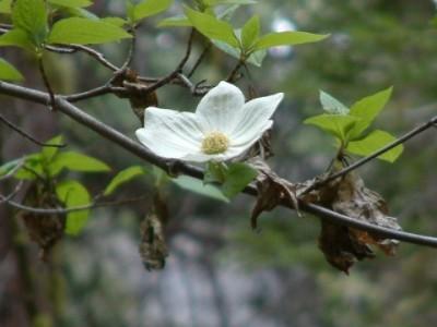 A Dogwood in The Grove