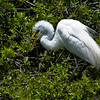 Great Egrets Awendaw-101