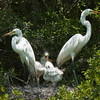 Great Egrets Awendaw-108