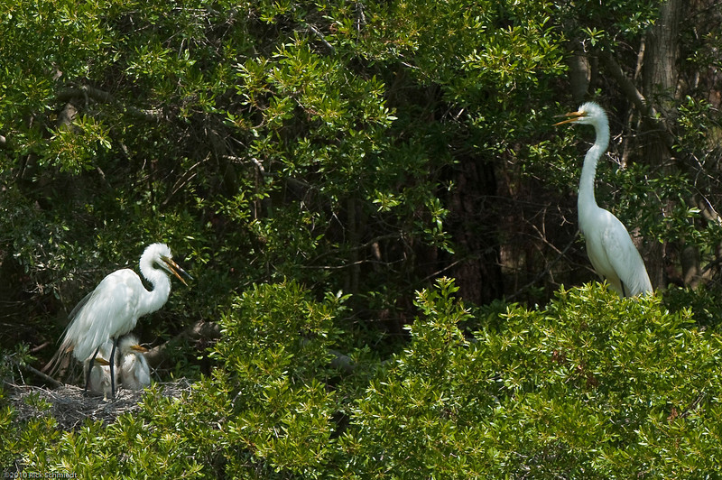 Great Egrets Awendaw-110