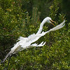 Great Egrets Awendaw-105