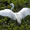 Great Egrets Awendaw-100