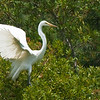 Great Egrets Awendaw-118