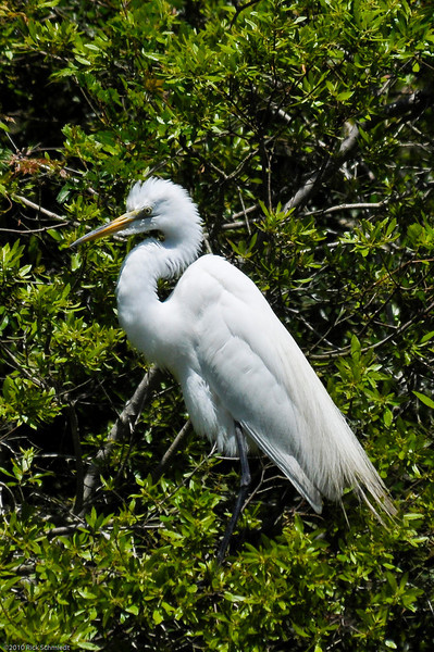 Great Egrets Awendaw-102