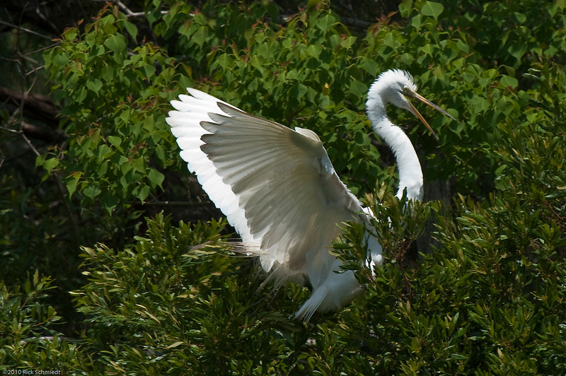 Great Egrets Awendaw-119