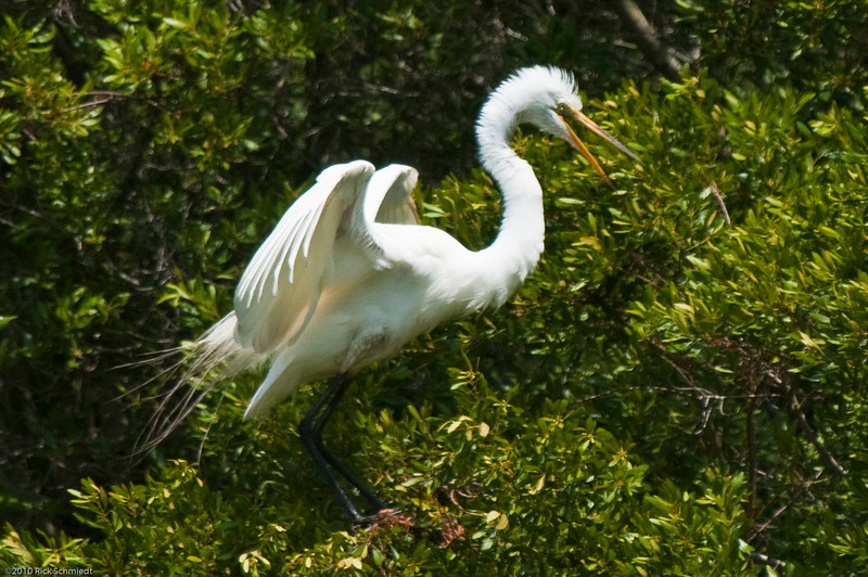 Great Egrets Awendaw-109
