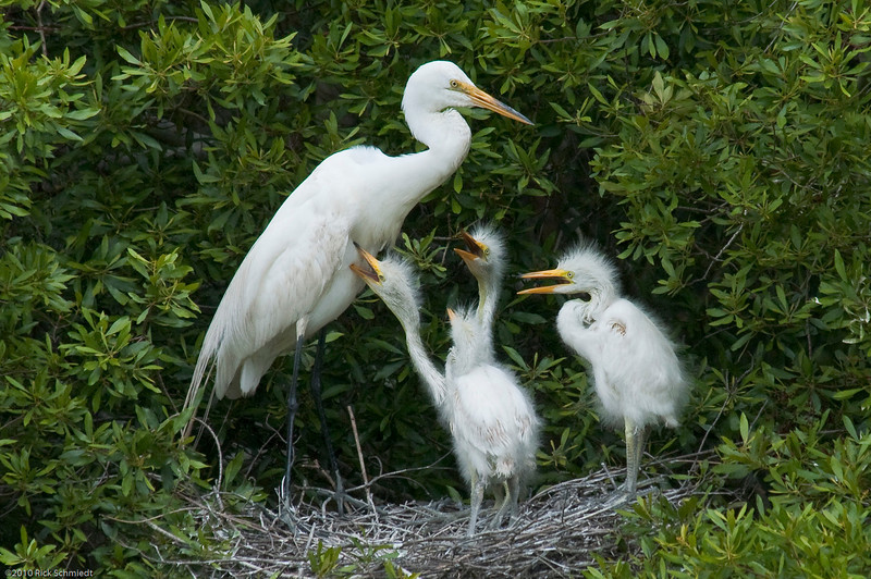 Great Egrets Awendaw-123