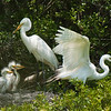 Great Egrets Awendaw-114