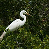 Great Egrets Awendaw-103