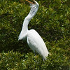 Great Egrets Awendaw-107