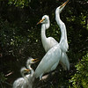 Great Egrets Awendaw-113