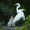 Great Egrets Awendaw-112