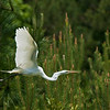 Great Egrets Awendaw-104