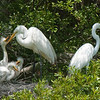 Great Egrets Awendaw-115