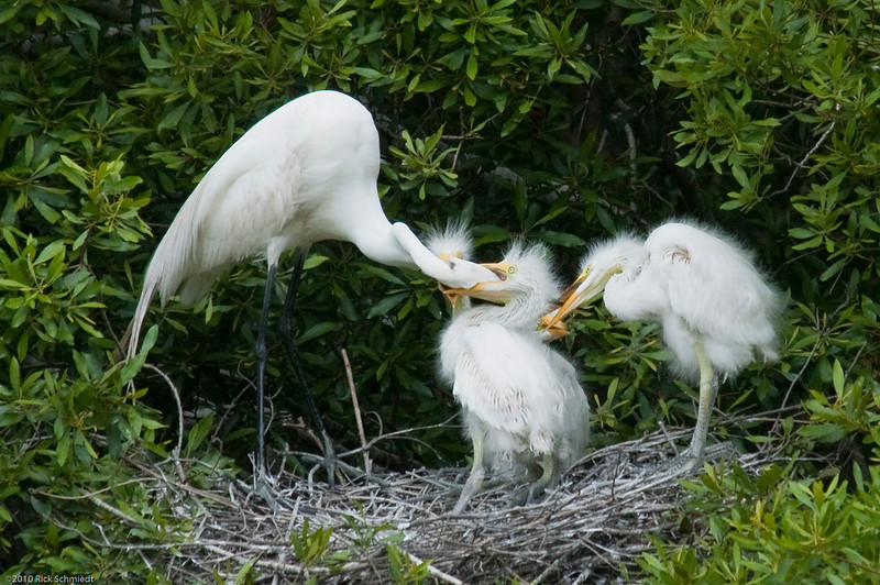 Great Egrets Awendaw-122