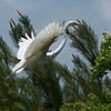 Great Egrets Awendaw-120