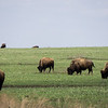 Bison at the Tallgrass Prairie 2