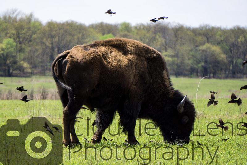 Bison at the Tallgrass Prairie