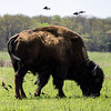 Bison at the Tallgrass Prairie