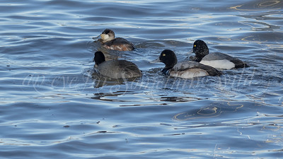 Greater Scaup and American Coot and Ruddy Duck