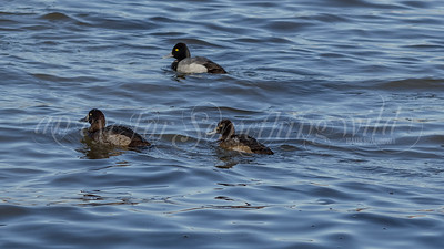 Greater Scaup and Lesser Scaups
