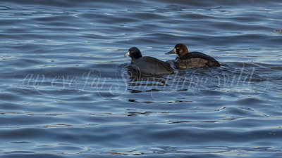 Greater Scaup and American Coot