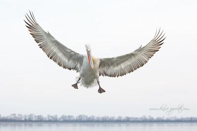 _65C7290Dalmatian-Pelicans,-Greece