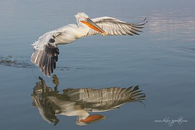 _65C7019Dalmatian-Pelicans,-Greece