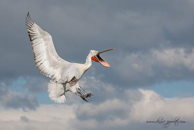 _65C9662Dalmatian-Pelicans,-Greece