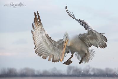 _65C8947Dalmatian-Pelicans,-Greece