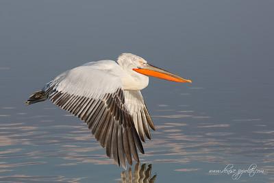 _65C6982Dalmatian-Pelicans,-Greece