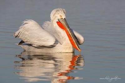 _65C6466Dalmatian-Pelicans,-Greece