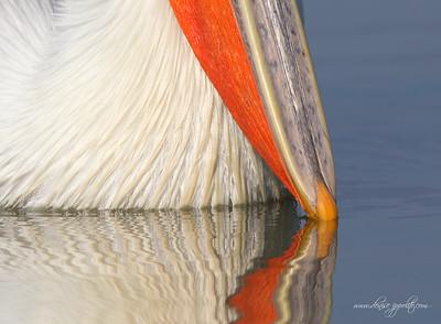 _V5R3825Dalmatian-Pelicans,-Greece