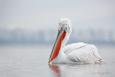 _65C9390Dalmatian-Pelicans,-Greece