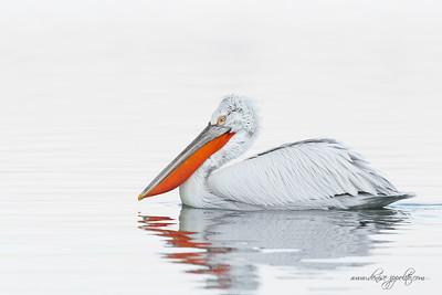 _V5R4216Dalmatian-Pelicans,-Greece
