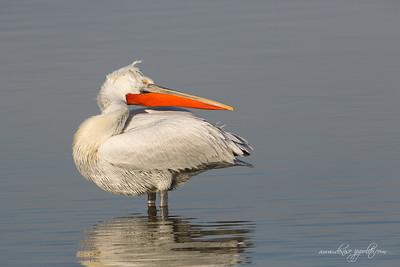 _65C1433Dalmatian-Pelicans,-Greece