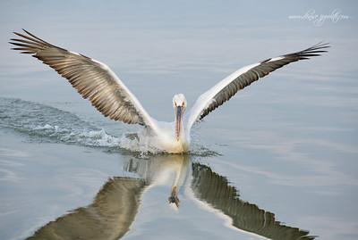 _65C8907Dalmatian-Pelicans,-Greece