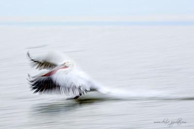 _65C7832Dalmatian-Pelicans,-Greece