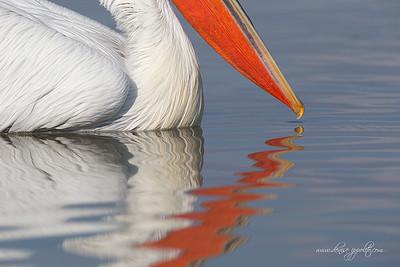 _V5R3845Dalmatian-Pelicans,-Greece