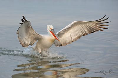 _65C8924Dalmatian-Pelicans,-Greece
