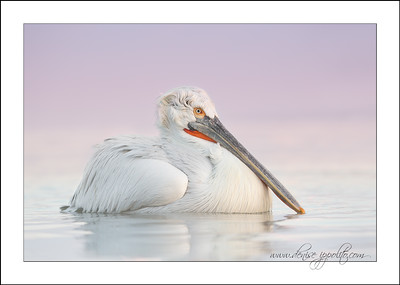 _65C6549Dalmatian-Pelicans,-Greecex