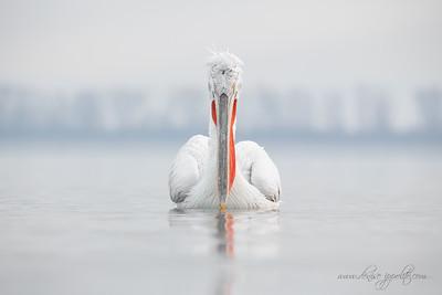 _65C9383Dalmatian-Pelicans,-Greece