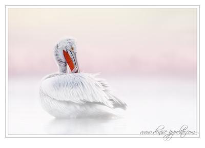 _65C9418Dalmatian-Pelicans,-Greecex