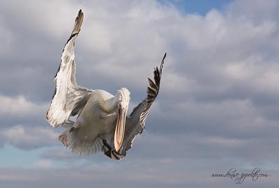 _65C9777Dalmatian-Pelicans,-Greece