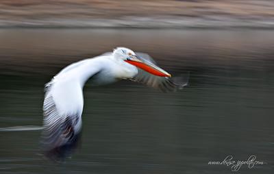 _65C7376Dalmatian-Pelicans,-Greece